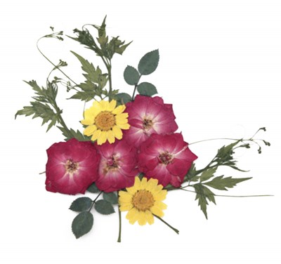Pressed flowers, fully bloomed rose, marguerite rose leaves foliage