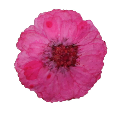 Pressed flowers, small pink chrysanthemum 20pcs, floral art craft