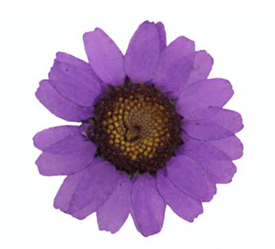 Pressed flowers, purple marguerite daisy 20pcs floral art craft