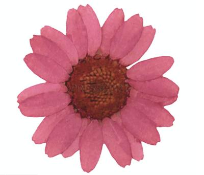 Presse flowers, dark dust pink marguerite daisy 20pcs floral art craft