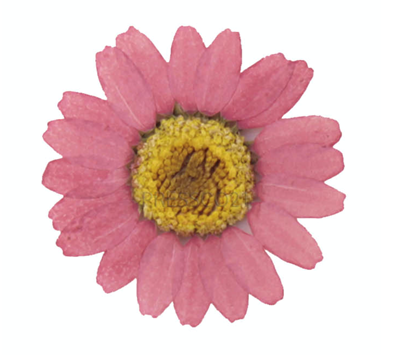 Pressed flowers, dust pink marguerite yellow core 20pcs floral art craft