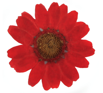 Pressed flowers, red marguerite daisy 20pcs floral art, craft