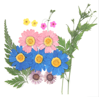 Pressed flowers, marguerite daisy fleabane bridal wreath foliage