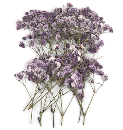 Pressed flowers purple baby breath, gypsophila 20pcs