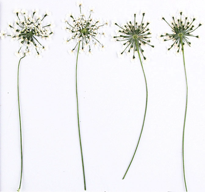 Pressed flowers, white lace flower on stalk 20pcs floral art resin craft
