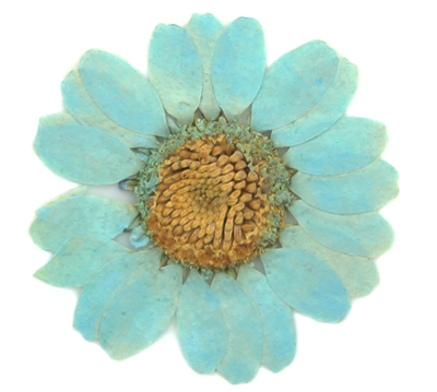 Pressed flowers baby blue marguerite 20pcs floral art, resin craft, scrapbooking