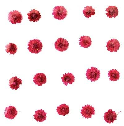 Pressed flowers, pink apricot blossom 20pcs