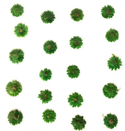 Pressed flowers, green apricot blossom 20pcs for floral art, craft, card making