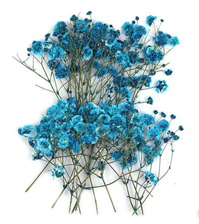 Pressed flowers, turquoise baby's breath gypsophila 20pcs floral art resin craft