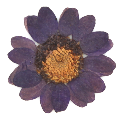Pressed flowers, dark violet marguerite daisy 20pcs floral art resin craft