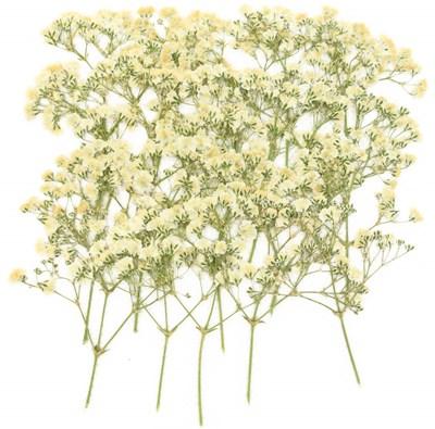Pressed flowers, white baby breath gypsophila 20pcs floral art craft