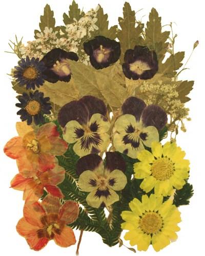 Pressed flowers mix, torenia pansy daffodils daisy alyssum foliage