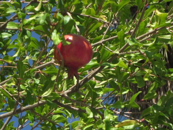 עץהרימון