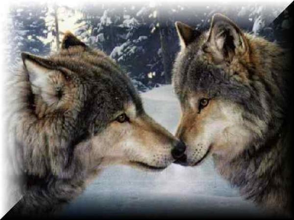 עיני זאב