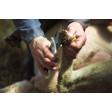Cisaille onglons pour mouton blanche lames non crantées