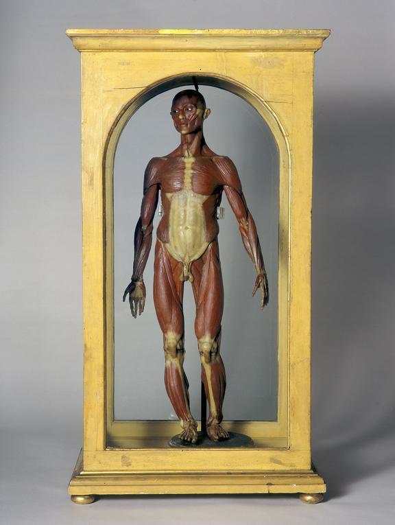 Wax Male Anatomical Figure Italian 1776 1780 Science Museum