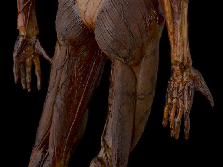 Wax Male Figure Showing The Veins And Some Organs Of The Body