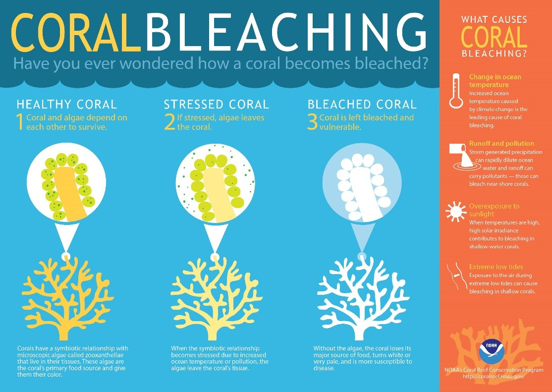 Illustration of coral bleaching process