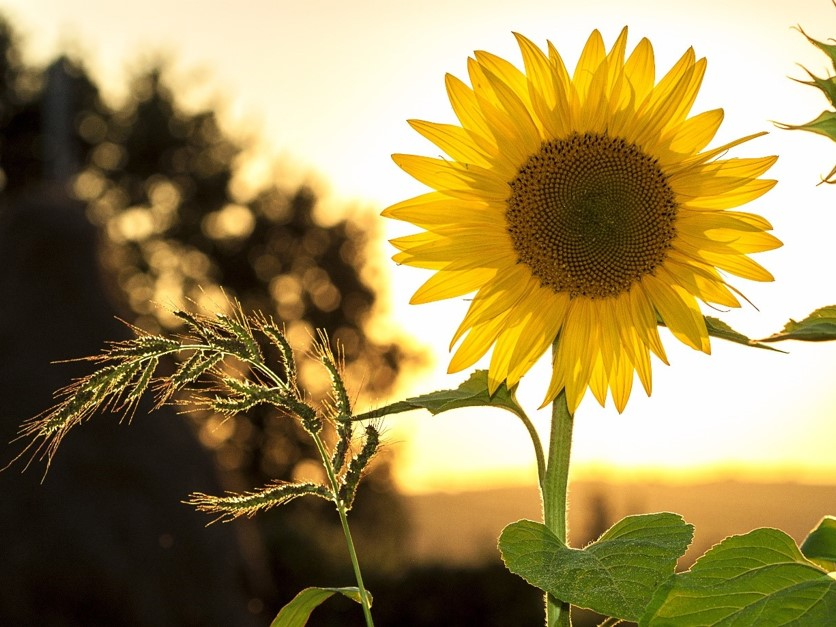 Photo of a sunflower