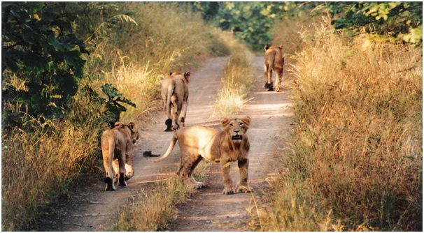 Gujarat Places to Visit - Gir National Park