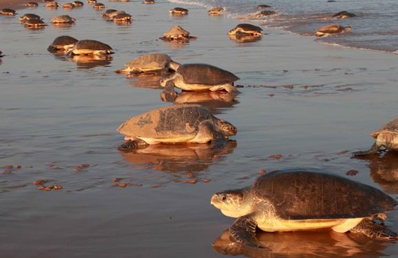 The Splendour of Odisha - Olive Ridley Turtle Beach