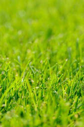 A24 is a universal mixture where extra durability is required from lawns and commercial landscaping projects. It produces an even textured ground cover which can be mown closely if a more formal appearance is required....
