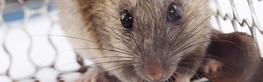 Rat Control image
