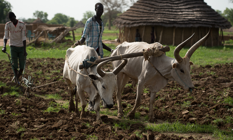 SP provided plows and training on how to cultivate land with oxen.