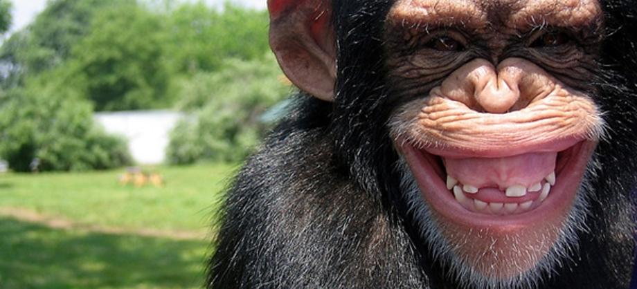 Ciencia: Científicos crean un diccionario para entender a los chimpancés
