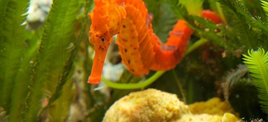 Ciencia: Biólogos detectan que los caballitos de mar emiten rugidos