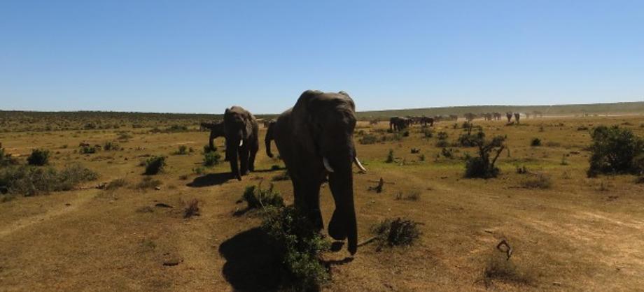 Ciencia: El elefante tiene mejor olfato que el perro