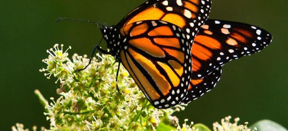 Ciencia: Las mariposas más grandes del planeta
