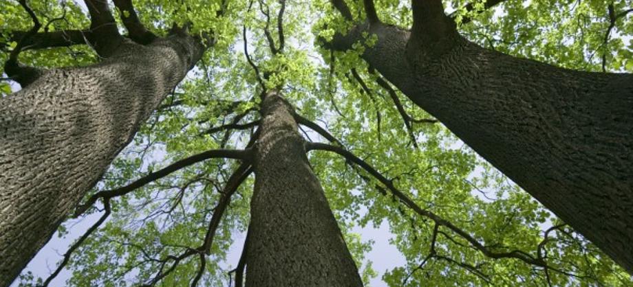 Ciencia: Árboles ¿por qué no crecen más de cien metros?