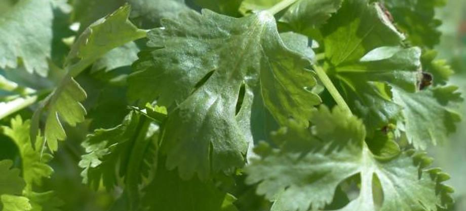 Gastronomía y Recetas: Cómo conservar el cilantro fresco