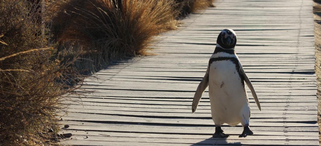 Condenado Pingüino: Recomendaciones para Perdurar