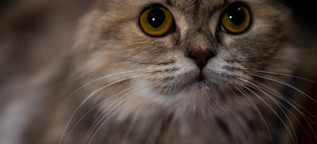 Animales: La Educación y Socialización del Gato Doméstico
