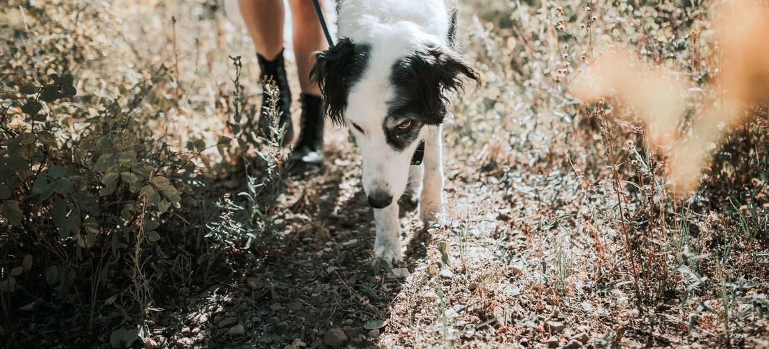 Cuidado de Animales: Basset Hound un Perro Particular
