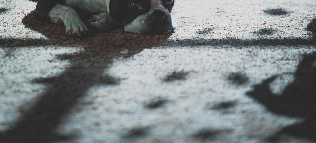 Convivencia con Mascotas: Bulldog Francés