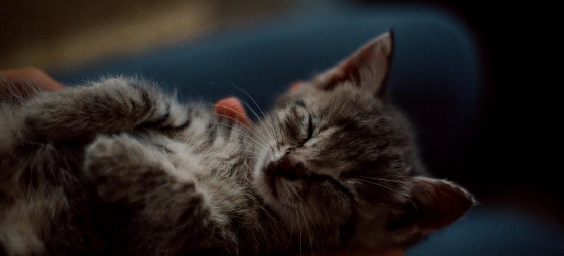 Convivencia con Mascotas: La Educación y Socialización del Gato Doméstico