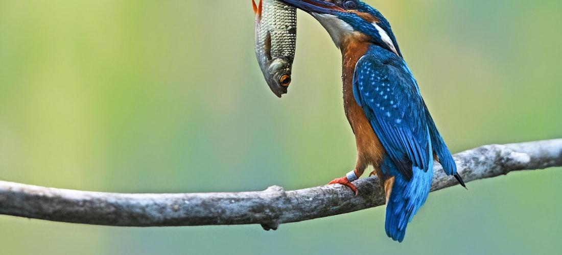 Cuidado de Animales: Las Aves Ninfas o Carolinas