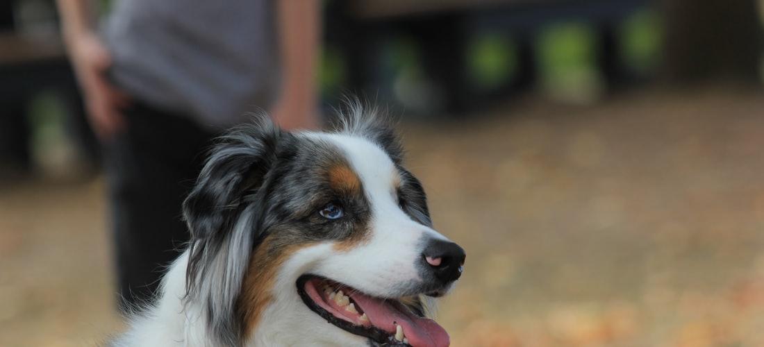 """Convivencia con Mascotas: """"guía de Entrenamiento para Perros"""""""