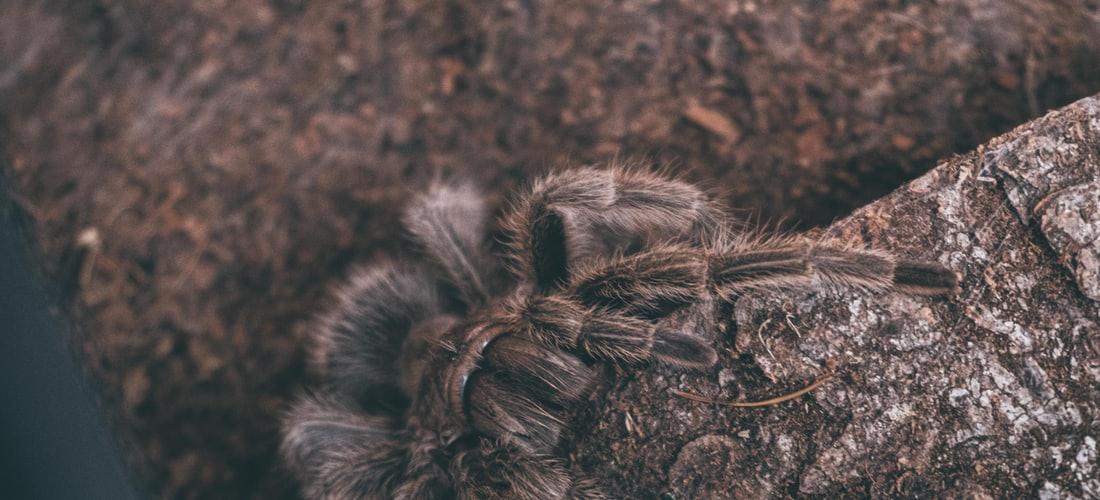 Convivencia con Mascotas: Cómo Identificar Arañas en Indiana