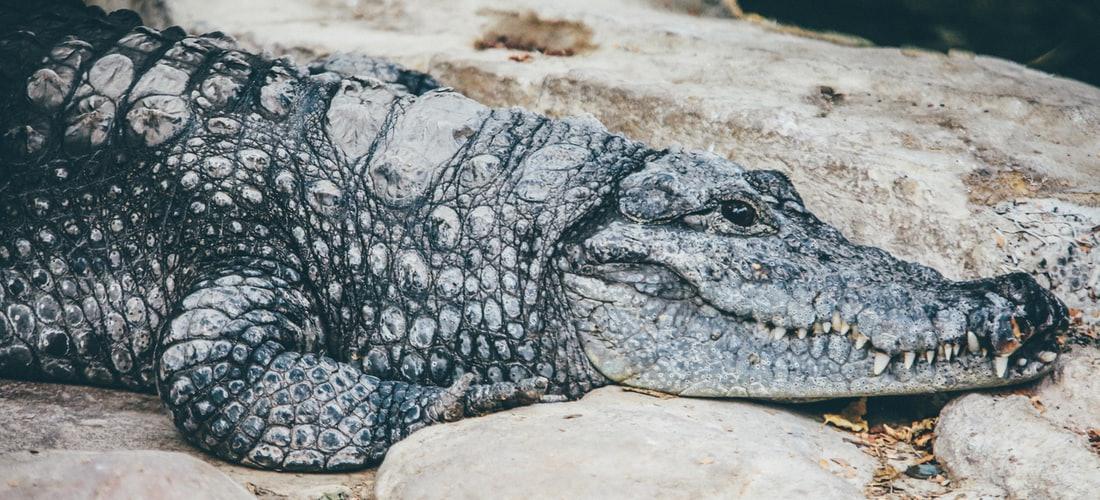Biología Veterinaria: Información Sobre Cocodrilos Geckos