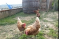 gallinas can cruset