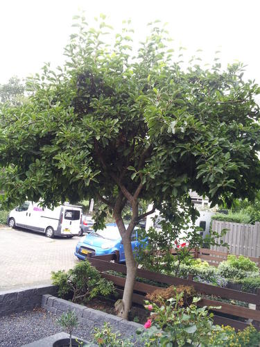 magnolia boom snoeien - werkspot