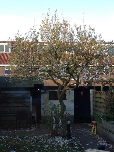 magnolia snoeien - werkspot