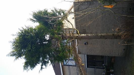 snoeien coniferen, rooien conifeer, snoeien boom - werkspot