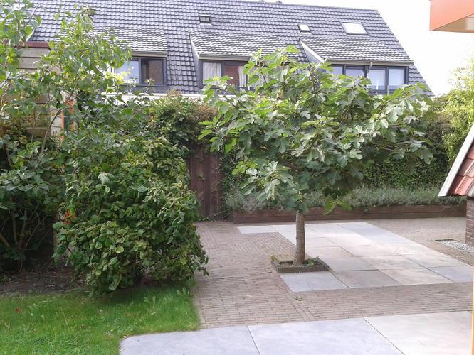 Vijgenboom verplaatsen