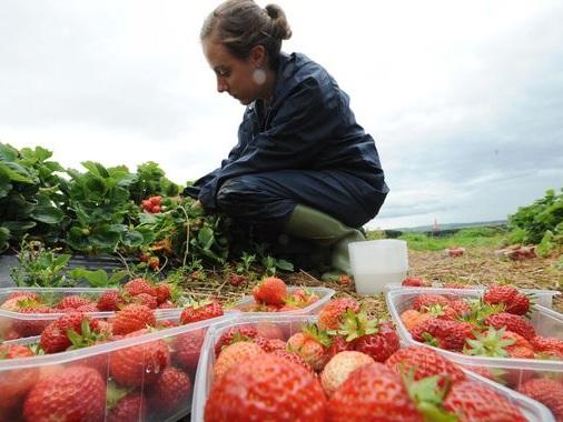 Coronavirus: 'Third of UK harvest may go to waste' due to COVID-19 travel ban