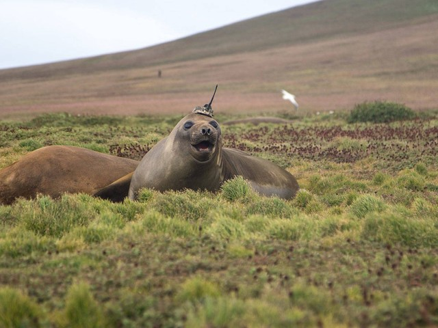 Forget sharks with lasers, NASA kits out an elephant seal with a sensor-studded skullcap